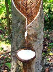 Дерево природного каучука